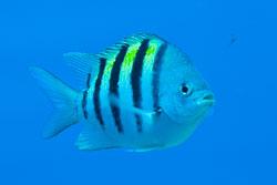 BD-101208-Cozumel-2880-Abudefduf-saxatilis-(Linnaeus.-1758)-[Sergeant-major.-Sergeantfisk].jpg